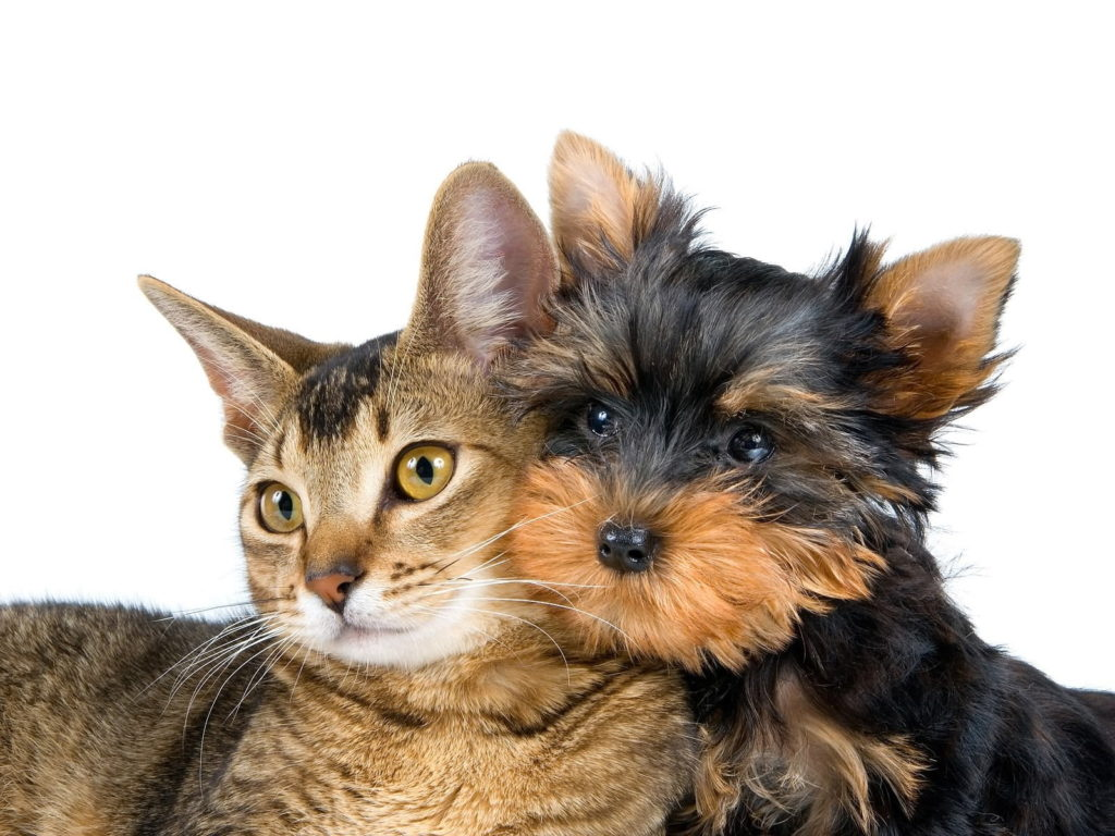 do yorkies get along with cats?