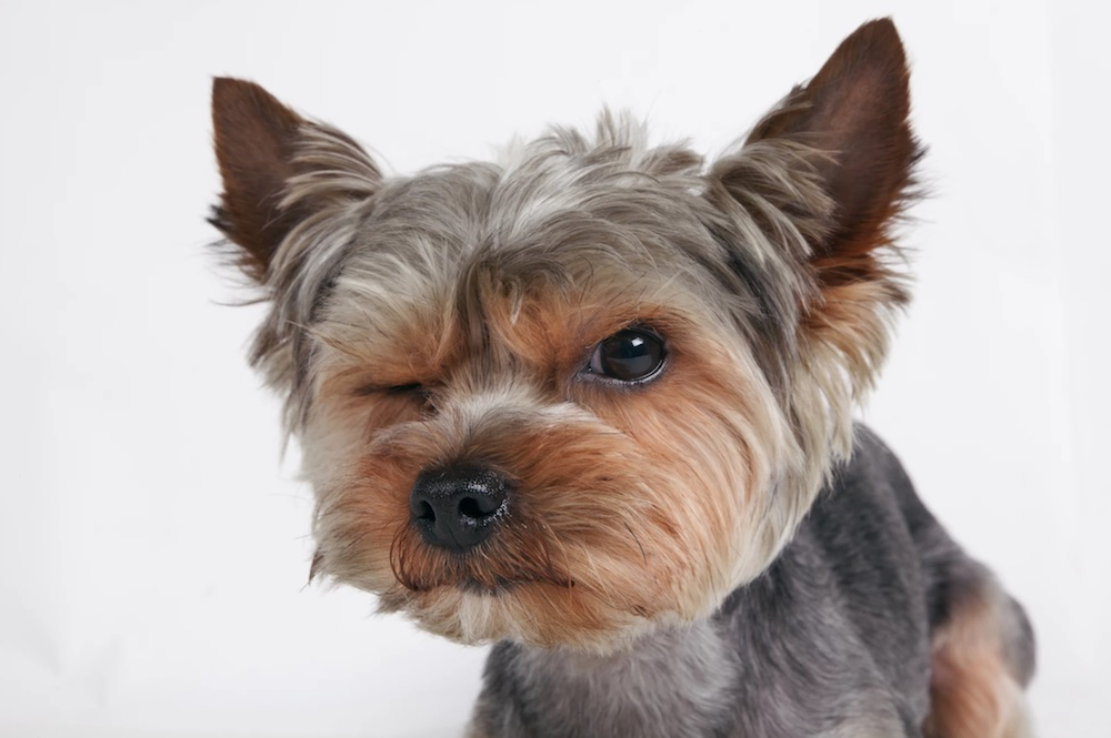 How To Stop Yorkie From Barking 6 Easy Tips Yorkiepagecom