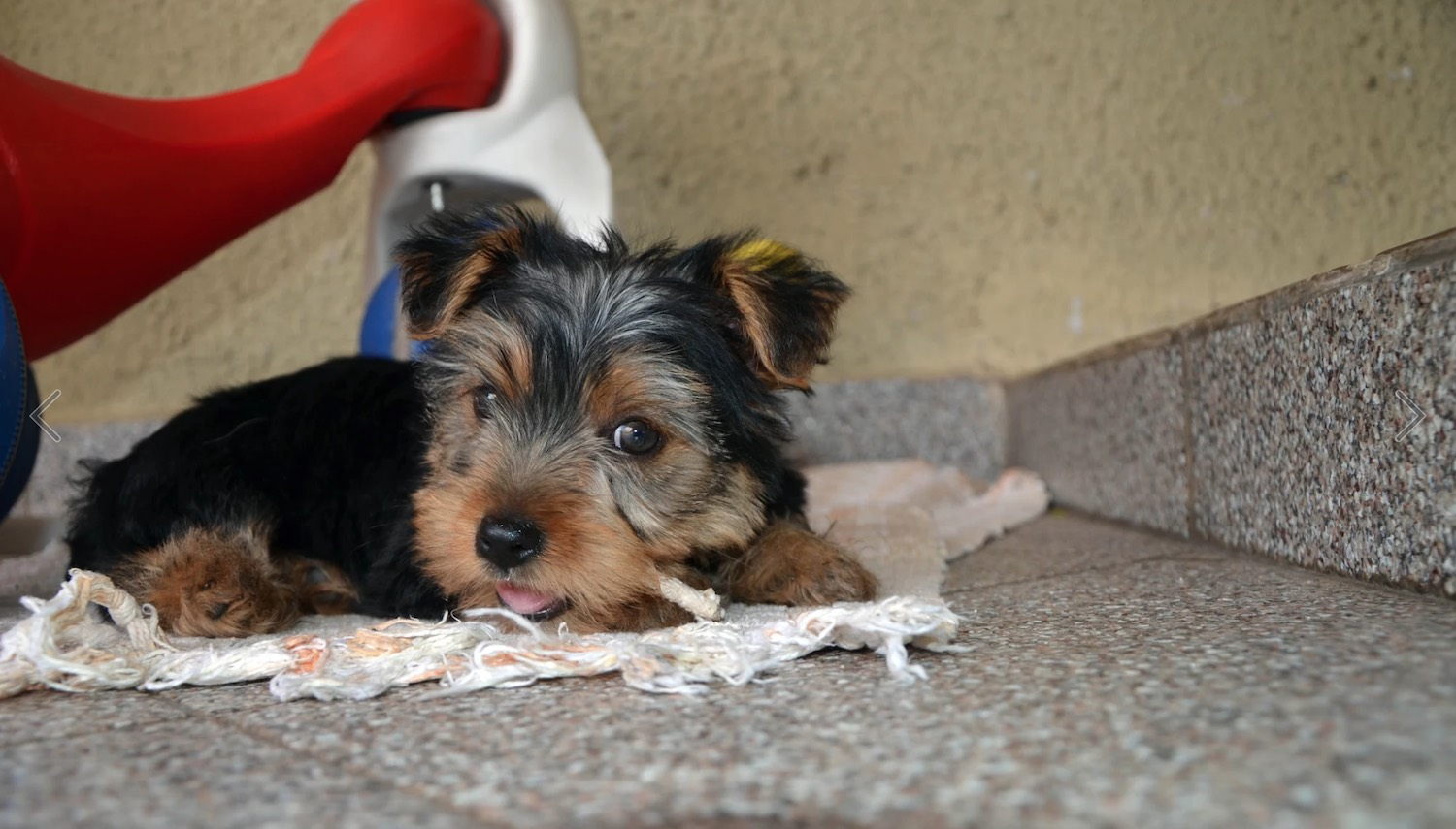 Yorkie potty training is easy! Once you know how to do it... Try it!