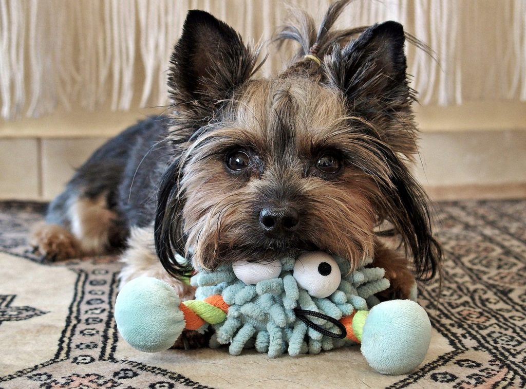 how long can yorkie stay home alone?