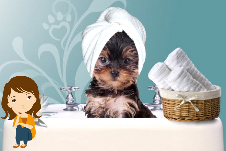 Yorkshire terrier bathing