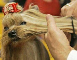 yorkshire terrier combing
