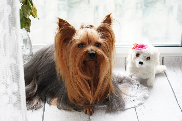 Yorkshire Terrier - Wikipedia | 425x640