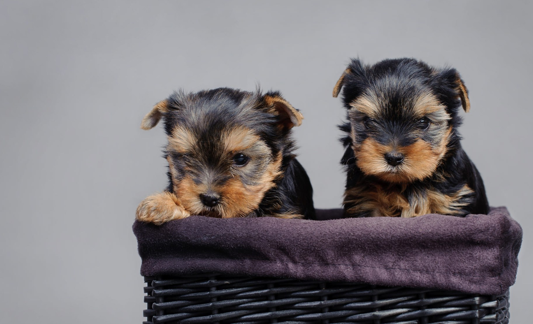 When Can Yorkies Leave Their Mothers Yorkiepage Com